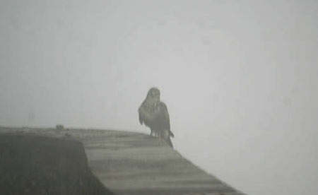 Trans-Pyrenees Eagle in the mist